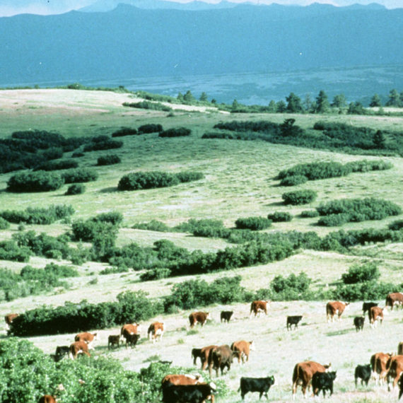 Cattle graze in the beautiful pastures of Highlands Ranch, circa 1970s.